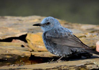 -Gefiederte Sänger – Singvögel in Südtirol